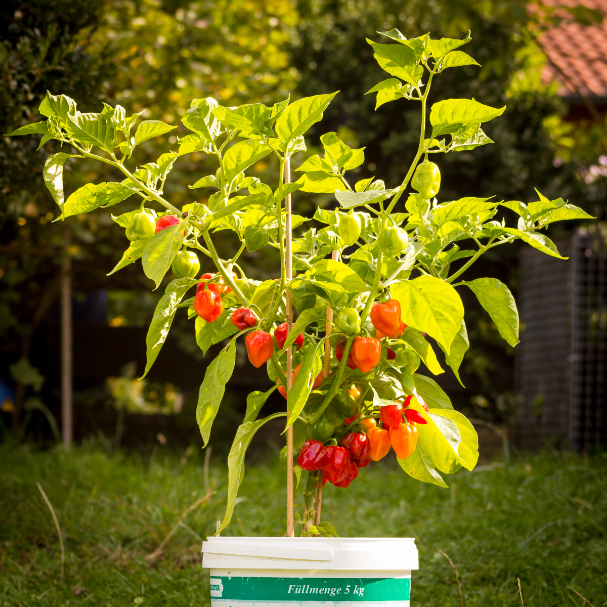 Habanero Chili Pepper Plant