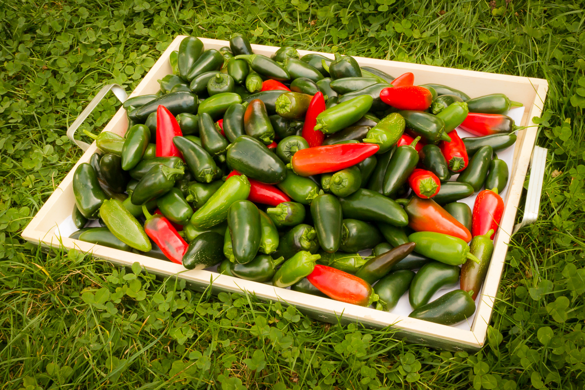 Jalapeño Chili Pepper Harvest